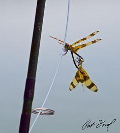 dragonfly-flamingo-everglades-fishing-pat-ford-skiff-life.jpg