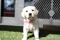 A Roman/Georgia girl - precious! www.nicholberrygoldens.com English Golden Retriever Puppy, English Golden Retrievers, Georgia Girls, Retriever Puppies, Roman, Dogs, Animals, Animales, Animaux