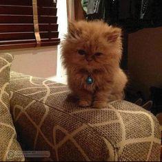 Sweet Persian kitten