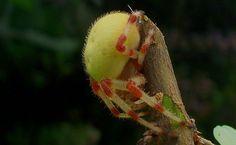 Araneus trifolium .
