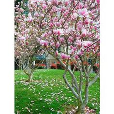 Southern Planters 1 Japanese Magnolia Alexandrina Flowering tree at Lowe's. The Alexandrina is a Japanese magnolia tree with large, beautiful purple flowers that will make an elegant and tranquil edition to your yard or garden Trees For Front Yard, Patio Trees, Landscaping Trees, Potted Trees, Front Yard Landscaping, Trees To Plant, Unique Trees, Small Trees, Japanese Magnolia Tree