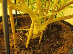 og kush Picture - Weedportal Share