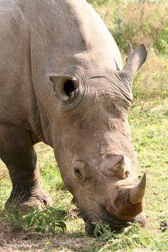 Op Safari in Pilanesberg, Zuid-Afrika. De neushoorn is één van de vele dieren die je hier kunt spotten.
