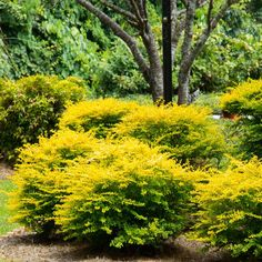 Bring great year-round color to your landscape or hedge with this valuable Southern Living Plant Collection Sunshine Ligustrum. Garden Shrubs, Flowering Shrubs, Garden Soil, Landscaping Plants, Shade Garden, Landscaping Ideas, Backyard Ideas, Garden Ideas, Garden Oasis