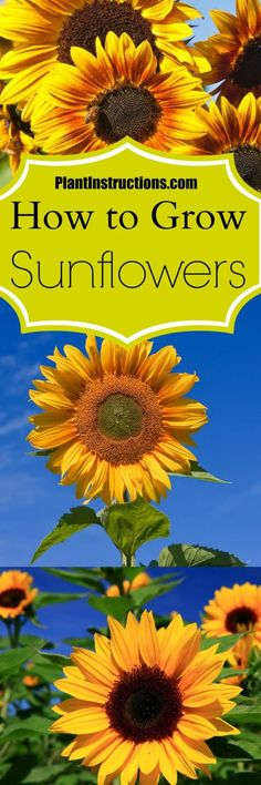Grow Sunflowers in Your Garden Learn how to grow sunflowers in your backyard! Everything you need to know about planting, growing, and caring!Learn how to grow sunflowers in your backyard! Everything you need to know about planting, growing, and caring! Growing Sunflowers, Planting Sunflowers, Sunflowers And Daisies, Sun Flowers, Gerbera Daisies, Blooming Flowers, Wild Flowers, Outdoor Plants, Garden Plants