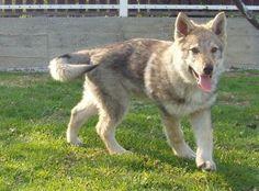 czechoslovakian wolfdog puupy