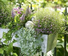 Federleicht in Rosa und Lila: Dank des Silberregens scheint es Silberstücke zu regnen. 2 x einjähriges Schleierkraut 'Garden Bride' (Gypsophila muralis) 1 x Edelpelargonie 'Clarion Bicolor' (Pelargonium grandiflorum) 1 x Federbusch (Ptilotus exaltatus) 1 x Silberregen (Dichondra #Silver Falls') 1 x Efeu (Hedera)