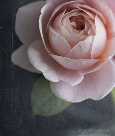 David Austin Rose Queen of Sweden from All My Thyme farm, photographed by Georgianna Lane