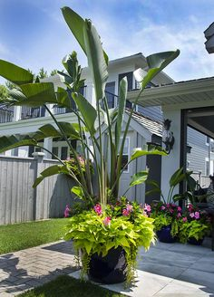 This tropical planter loves full sun and is drought tolerant. Pink Rio dipladenias with Bird of Paradise centre and trailing ipomea (sweet potato vine). #tropical_garden_backyard