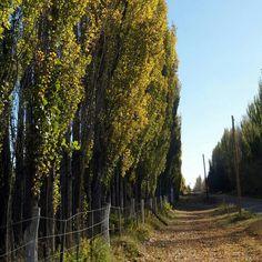 Los álamos del valle de Río Negro con todo el otoño encima