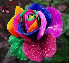 Rose multicolore c'est magnifique.