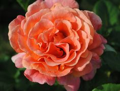 Peach Beauty I Rose by Kathy White
