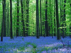 Halle Forest, the Blue Forest of Belgium
