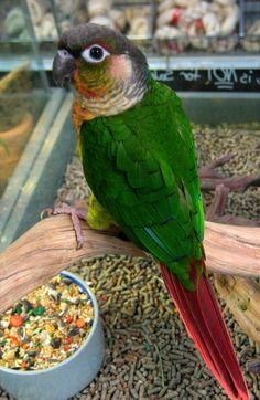 Green Cheek Conure