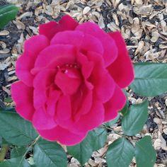 Rose bush in backyard