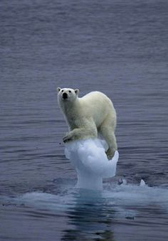 Polar bears may drown from loss of ice caps and glaciers to hunt on. Here's a visual of a polar bear hanging on to an icecap, afraid to drown.