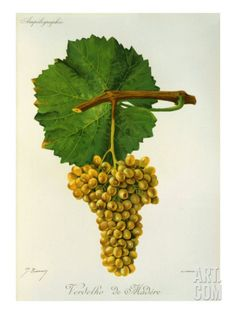 Verdelho de Madere White Grape Variety from Ampelographie Traite General de Viticulture, 1903'