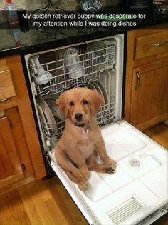 My Golden Retriever Puppy named 'Kaycee' who wanted my attention so bad while doing dishes Perros Golden Retriever, Golden Retriever Mix, Retriever Puppy, Funny Golden Retrievers, Cute Funny Animals, Funny Animal Pictures, Funny Dogs, Funny Dog Pictures, Puppy Pictures