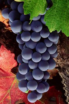 Fruit Plants, Fruit Garden, Fruit Trees, Fresh Fruits And Vegetables, Fruit And Veg, Beautiful Fruits, Beautiful Flowers, Fruit For Diabetics, Plum Fruit