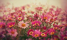 #1644747, daisy category - Free screensaver daisy backround