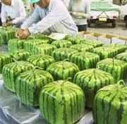 Square Watermellon, Japanese farmers save refrigerator space by growing watermelon in square boxes. Google images photo.