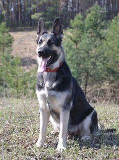 East-European Shepherd