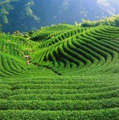 Missing the tranquility. also the atmosphere in tea garden. Taipei, Vineyard, Tea, Garden, Nature, Outdoor, Outdoors, Garten, Lawn And Garden