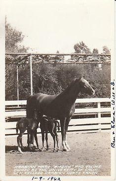 RIFDAH-AND-TWINS-ARABIAN-HORSE-RPPC-POSTCARD-WK-KELLOGG-RANCH-CALIF-VINTAGE