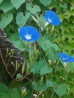 Peccato il fiore duri l'espace d'un matin