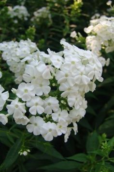 Phlox paniculata \'David\' -moon garden
