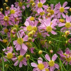 Coreopsis rosea 'American Dream' (Tickseed)