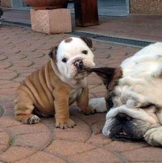 Aw: De schattigste buldog puppy's op een rijtje | NSMBL.nl