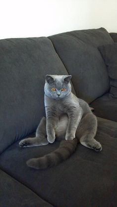 Bailey our British Shorthair <3