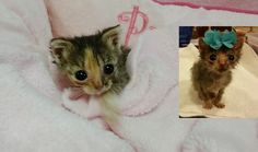 Micro Kitty Only of Normal Size Tries to Grow Big, A Few Months Later. Happy Animals, Cute Funny Animals, Crazy Cat Lady, Crazy Cats, Kittens Cutest, Cats And Kittens, Tiny Kitten, Lots Of Cats, Cool Cats