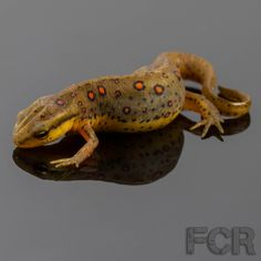 First Choice Reptiles - Eastern Red Spotted Newts For Sale, $10.00 (http://www.firstchoicereptiles.com/eastern-red-spotted-newts-for-sale/)