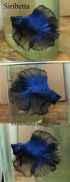 fwbettashm1429276681 - Fullmoon BlueDragon Mastard Male - SiribettaFarm
