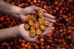 Olio di palma: Un vero e proprio veleno presente in troppi cibi che mangiamo...ECCO QUALI