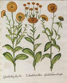 122582 Calendula arvensis (Vaill.) L. var. prolifera [as Calendula prolifera] / Bessler, Basilius, Hortus Eystettensis, vol. 2: Quintus ordo collectarum plantarum aestivalium, t. 208, fig. I (1620) [B. Besler]