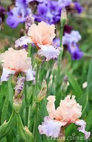iris flower Garden Club, Iris Flowers, Plants, Flowers, Plant, Planets