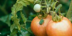 Η βρωμούσα προκαλεί κατσάρωμα, σκίσιμο και ξήρανση στα φύλλα, ενώ σε νεαρά φυτά που προσβάλλονται σταματούν να αναπτύσσονται και παραμένουν καχεκτικά. Vegetables, Nature, Plants, Food, Kitchen, Recipes, Lawn And Garden, Naturaleza, Cooking