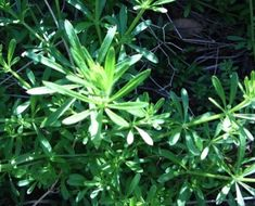 May to July - Cleavers / goosegrass - Young shoots and or tip of older plants raw or boiled 10/15 minutes. Serve warm with butter or olive oil, sale and pepper. The flower tops are eaten or used to make a refreshing drink.