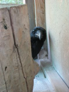 Excuse me do you have a moment to talk about the all-feather? Quoth The Raven, Crow Bird, Jackdaw, Crows Ravens, Magpie, Bird Feathers, Spirit Animal, Beautiful Birds, Beautiful Creatures