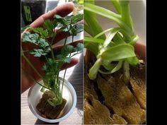 Dyrk koriander inne fra frø – Mat fra bunnen