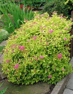 Japanische Spiräe 'Goldflame' • Spiraea japonica 'Goldflame' • Pflanzen &…