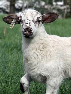 The Maryland Small Ruminant Page serves as an information portal for sheep and goat producers. Katahdin Sheep, Farm Life, Farm House, Future Farms, Farms Living, Goats, Lambs, Ducks, Homesteading