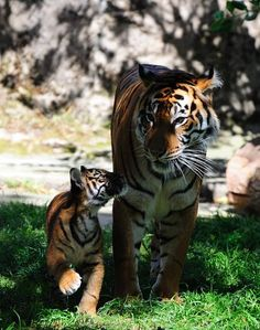 i want our future generation to see wht TIGERS look like...there r less then 2000tigers in india...