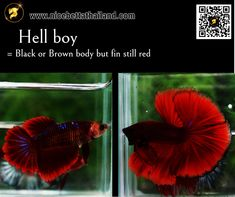 All of Betta Fish – A Guide on Patterns, Color in the world - Nice Betta Thailand.CO.,LTD Brown Bodies, Colorful Candy, Colorful Fish, Betta Fish Types, Fish For Sale, Siamese Fighting Fish, Fish Farming, Betta Fish, Colors