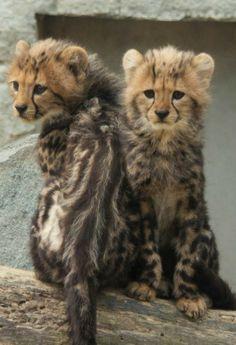 King cheetah cubs