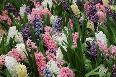 Zambile - plantare ingrijire - Anthesis Mai, Gardens, Plant, Fragrance
