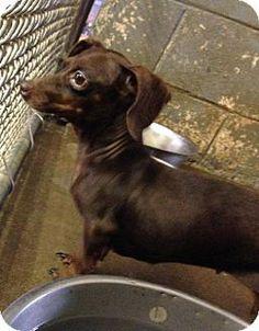 Willingboro, NJ - Dachshund. Meet Emerald, a dog for adoption. http://www.adoptapet.com/pet/11319161-willingboro-new-jersey-dachshund
